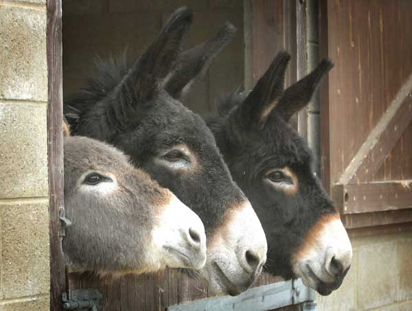Three rescued donkeys from France